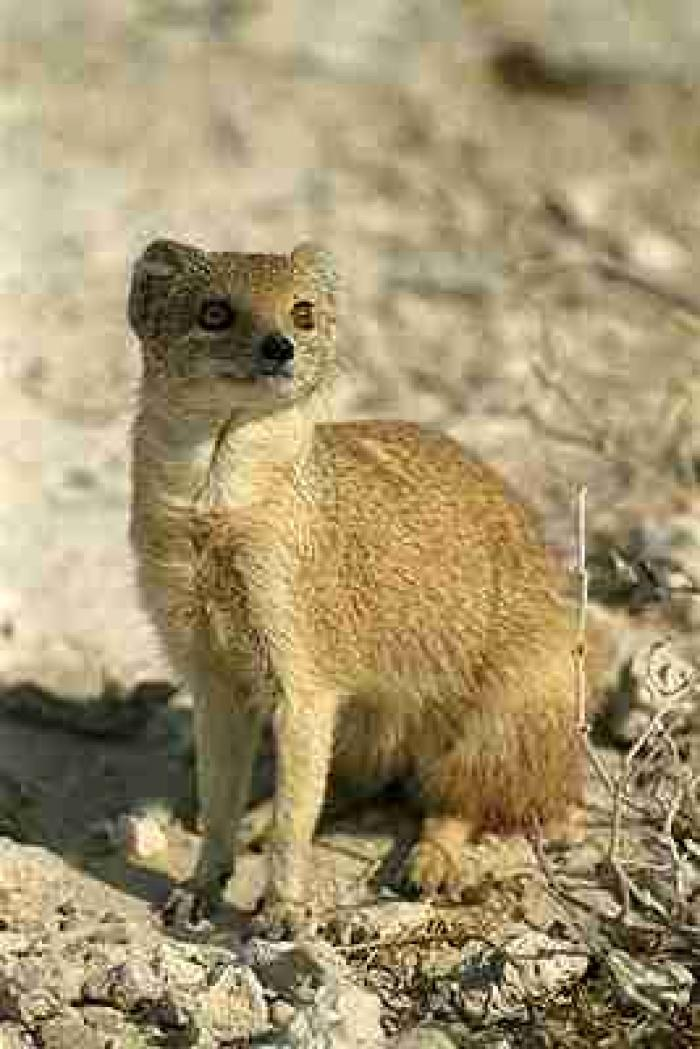 Mongoose Attack Relate...