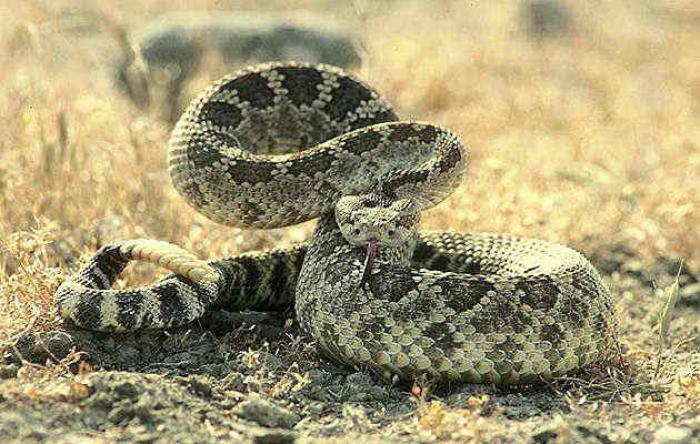 Место гремучая змея блюдо явно на