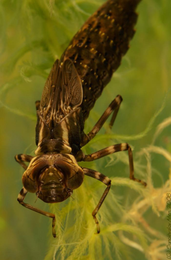 Интересные приманки Выпуск 3. Часть 1.- фото и видео - Личинка стрекозы - Природа вокруг нас